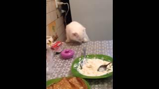Кошка ест за столом | плохо или хорошо? | Шотландская вислоухая кошка Нани