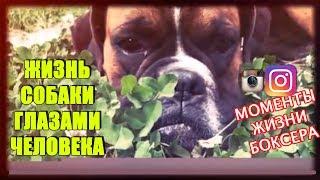 Мир глазами собаки: фото подборка жизнь собаки породы боксер