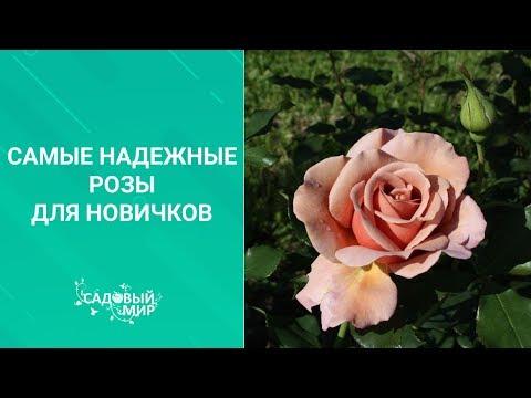 Самые надежные розы для новичков