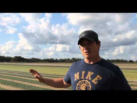 M&R Farms Florida Farm - Organic vs Conventional Baby Greens