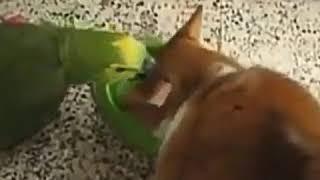 Первое видео . Бедный попугай