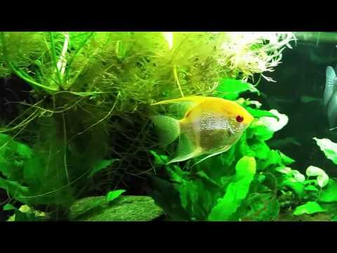 Final Update On My Angelfish Aggression