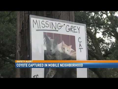 Coyote captured in Mobile neighborhood - NBC 15 News, WPMI