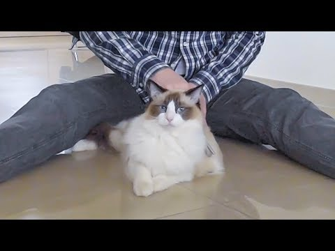 HOW I GROOM our Ragdoll CAT Binx - relaxing demo