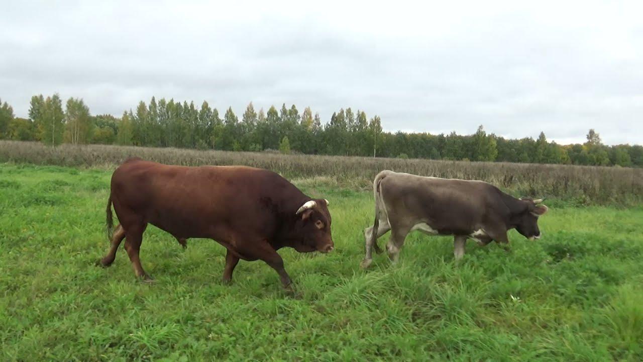 Переправили коров на новое пастбище в конце сентября.Пришлось перекрыть дорогу автомобилям.