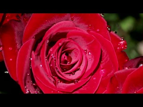 1 HOUR - MEDITATION MUSIC - Beautiful Red Roses - JUST RELAX & UNWIND