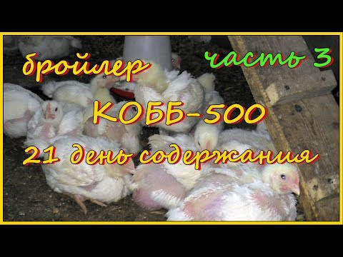 Бройлеры КОББ-500. Итоги содержания. Часть 3.