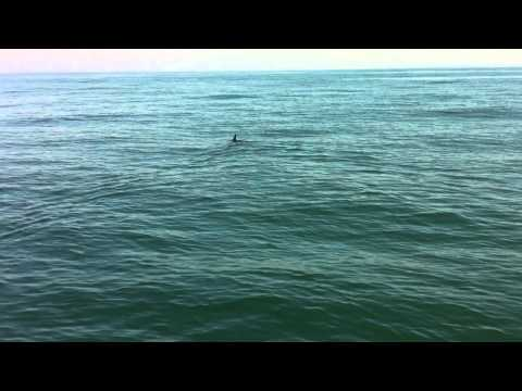 Dolphins, whales & a big shark in Santa Monica Bay (shot on iphone4)