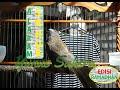 Suara Trucuk Nembak Ropel Panjang Untuk Masteran Dan Pancingan Trucuk Juara  Mp3 - Mp4 Download
