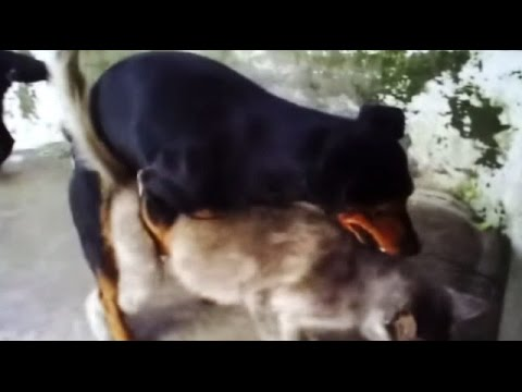 Chihuahua Dog and Cat Gone Wild