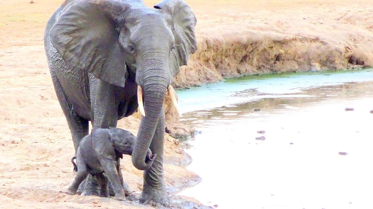 Watch what happens when this newborn elephant calf falls into the waterhole