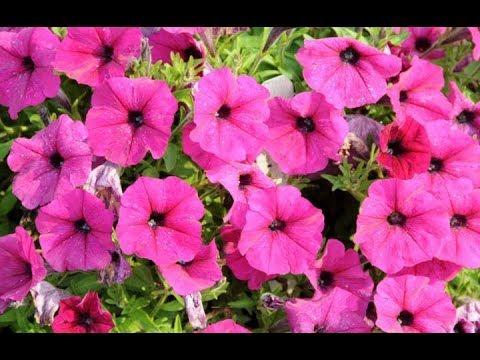 Trimming Petunias Garden Answer Youtube