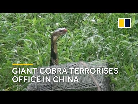 Giant cobra terrorises office workers in southern China