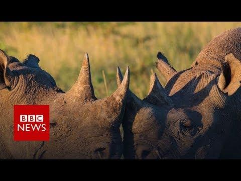 Rhinos: Killing & Corruption (FULL DOCUMENTARY) BBC News