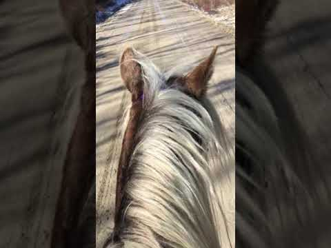 Gaiting & Cantering NO HANDS!! - Bonnie View Farm's Tribute Kidd - Rocky Mountain Stallion