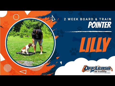 Pointer Lilly | Real world Obedience | amazing transformation | Nova Dog Trainers