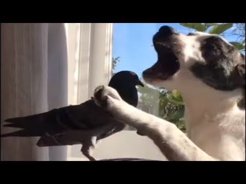 Pigeon and puppy friends enjoy play-fight session