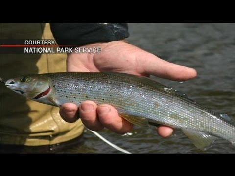 Native Arctic Grayling, Westslope Cutthroat Trout make a comeback in Yellowstone's Grayling Creek
