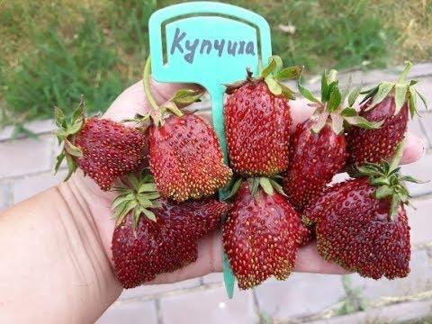 КУПЧИХА 2019г -   клубника, плодоношение