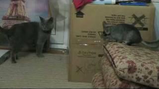 Шиншилла и кот - 2