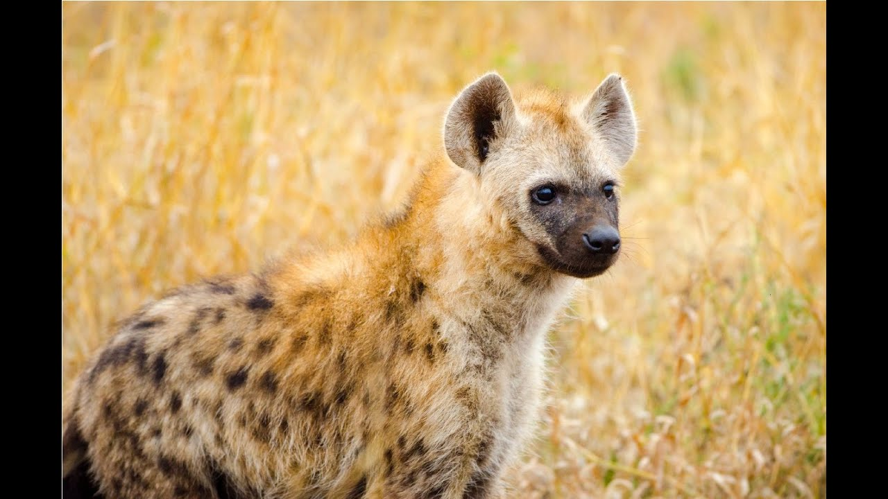 Amazing Facts About Hyena - YouTube