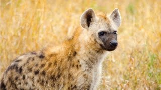 Amazing Facts About Hyena