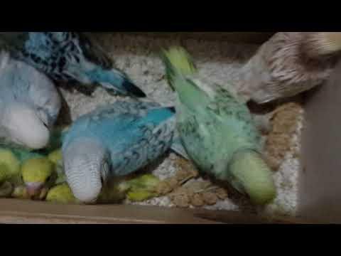 Muhabbet kuşları genel durum sezon sonu yavruları.