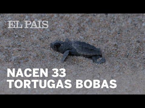 Nacen 33 ejemplares de tortuga boba en Mataró