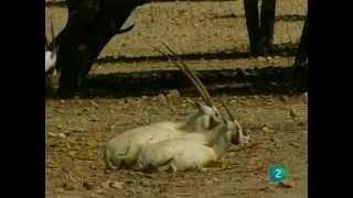 El Oryx (Documental) Sobreviviendo en la naturaleza_Español-Castellano
