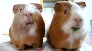 my sweet guinea pigs