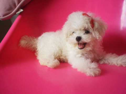 White Baby Poodles | www.pixshark.com - Images Galleries ...