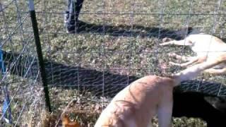 BROWNIE HUMPING SAM -- DOG PORN -- LOL -- GETTING FREAKY