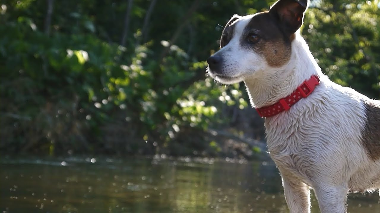 Jack russell 39 s work to catch a fish youtube - Jack russel queue coupee ...