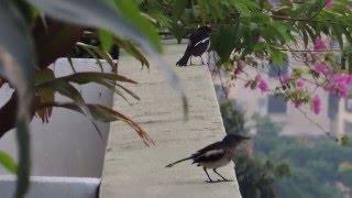 1, 2, .. 3...  Oriental Magpie Robin singing at my garden