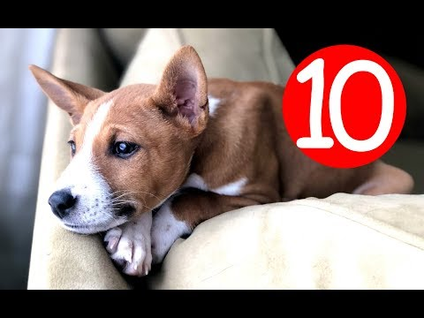 Top 10 Non Shedding Dog Breeds - Hypoallergic Dogs