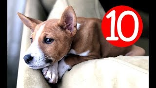 Top 10 Non Shedding Dog Breeds  Hypoallergic Dogs