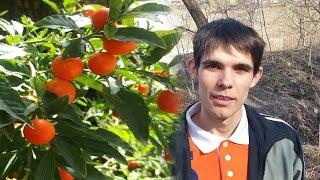 Marul Iubirii Solanum Plantarea In Ghiveci How To Plant Solanum Pseudocapsicum From Seed