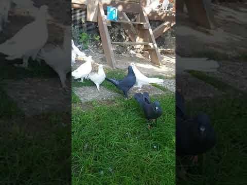 Бакинская птица широкохвостая. Германия, Bakina Tauben, Pigeon Baku, Deutschland