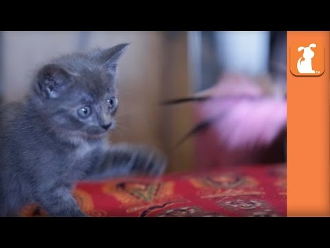 LOL: Curious Kitten Sneaks Up On Feather Wand, Falls Off Bed