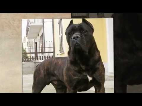 cane corso guardian youtube