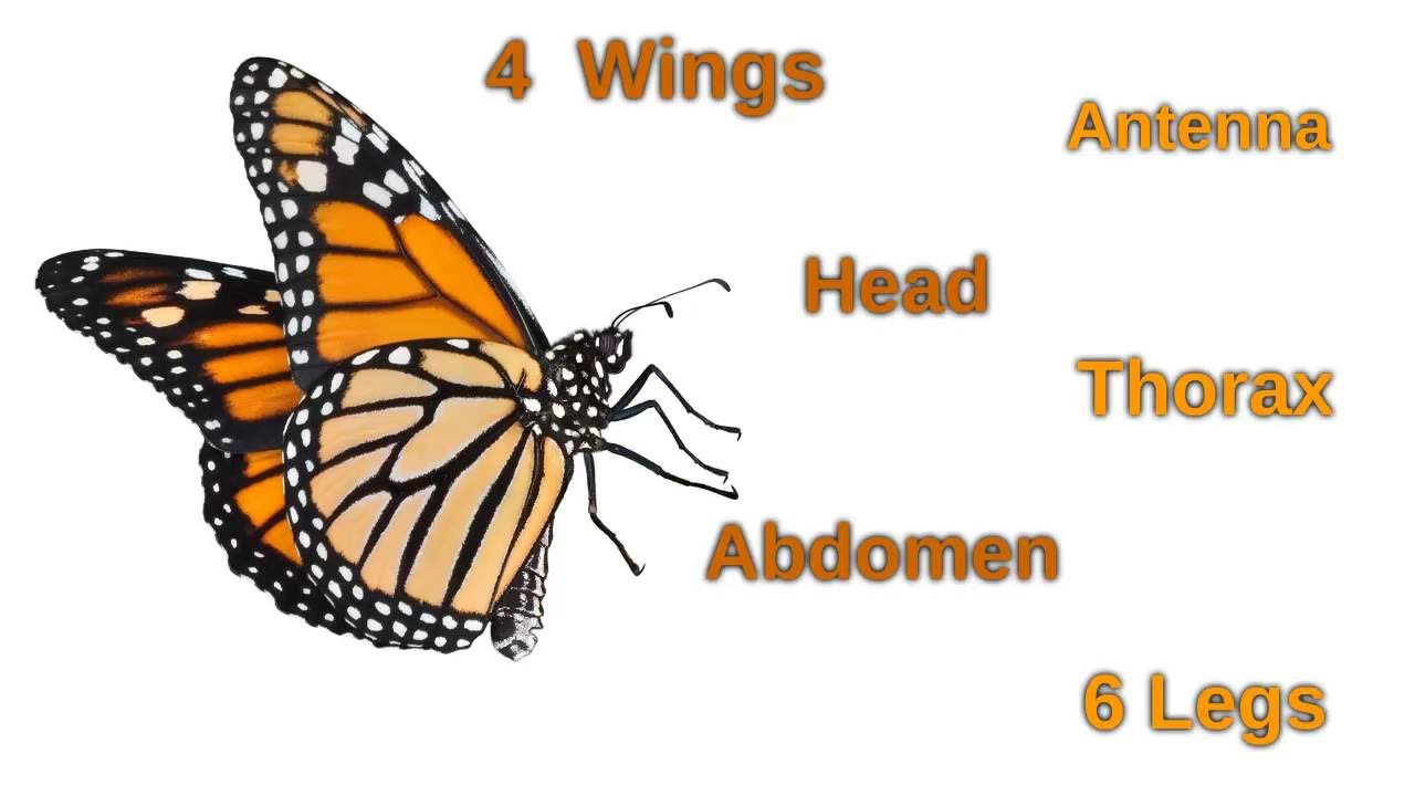 Interesting Facts About Butterflies - YouTube