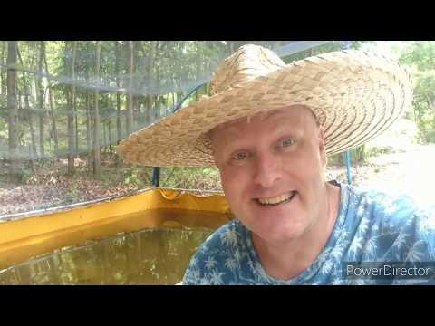 Will Tilapia Eat Tadpoles In The Azolla Pond?