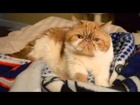 Exotic Shorthair Garfield Purring