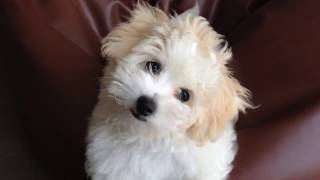 Three months old Coton de Tulear tilts her heard left right. モコ。...