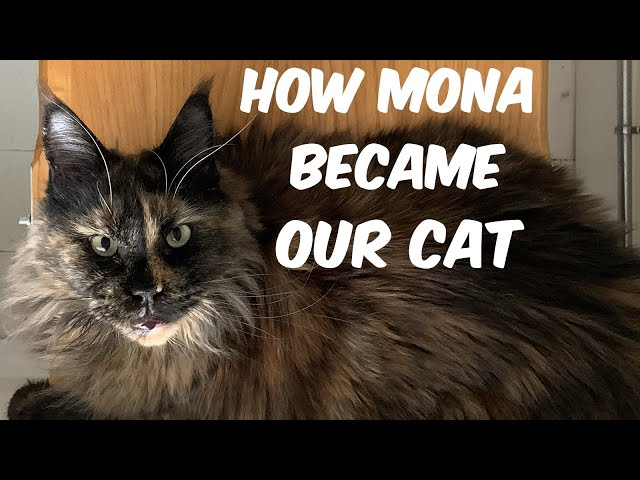 An introduction to our Maine Coon cat - Mona