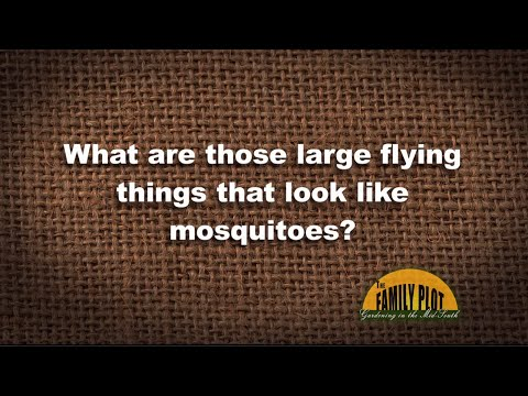 Q&A - What are those big bugs that look like mosquitoes?