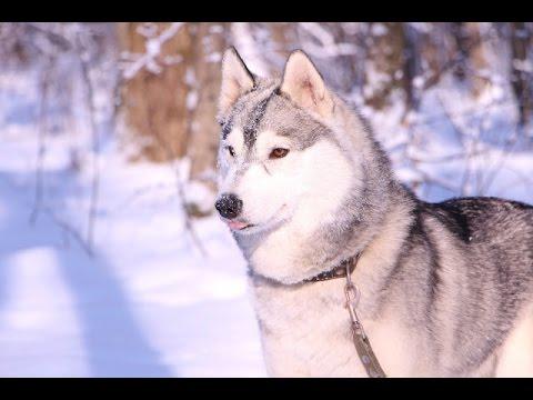 Щенки Хаски онлайн    Husky puppies Live