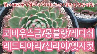 뫼비우스금/몽블랑/레디쉬/레드티아라/신라이/엣지컷 꽃나래다육식물010-2818-1441