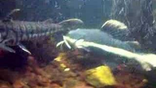 "Redtail ""shamu"" Catfish (month 5)220gal"