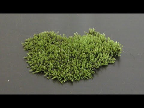 Growing Land Moss in Aquarium